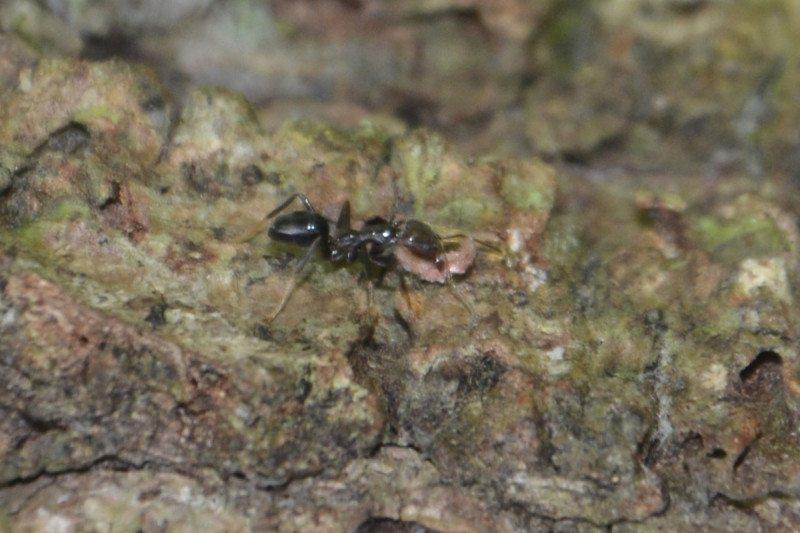 Fiji Karıncası