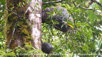 Fiji Karıncası 2