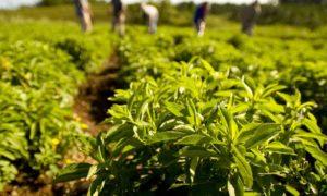 Stevia (Şeker Otu, Şeker Bitkisi))