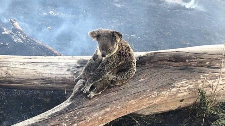 Koala- Avustralya